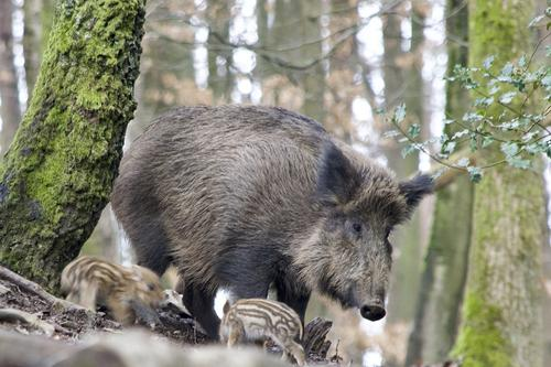 Как вести себя москвичам при встрече с дикими кабанами