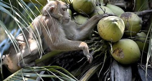 Британский супермаркет отказался от кокосов, которые собирают макаки-рабы