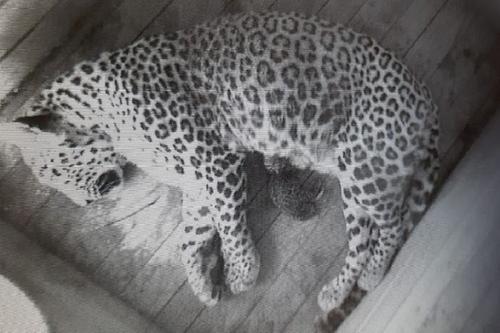 В Сочинском национальном парке у пары леопардов появилось потомство