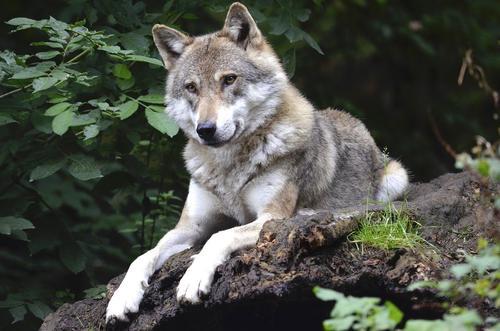 В Архангельской области участились случаи нападения волков на людей