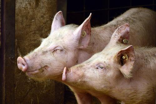 В ряде районов Самарской области ввели режим ЧС из-за африканской чумы свиней