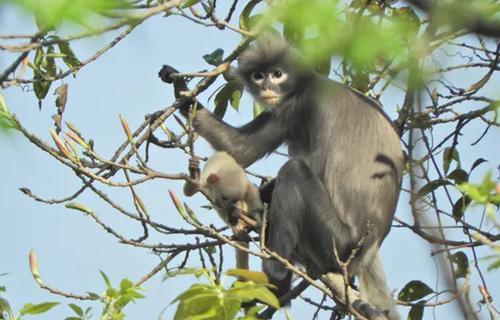 В Азии нашли новый вид обезьян. Они уже вымирают