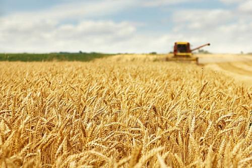 Мировые цены на пшеницу рухнули из-за России и Австралии