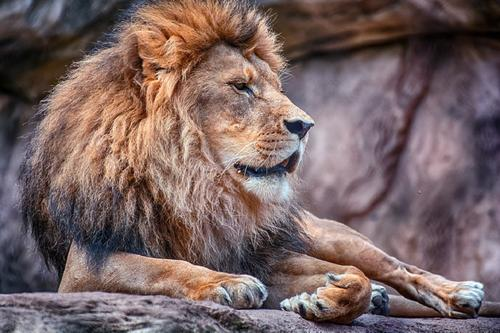 Усыпленный в Таллинском зоопарке лев оказался болен коронавирусом