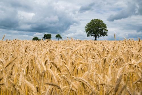 Правительство РФ повысило  экспортные пошлины на пшеницу, ячмень и кукурузу