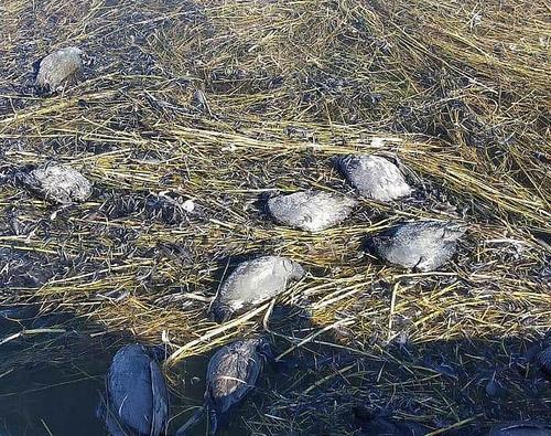 В Дагестане зафиксирована массовая гибель птиц