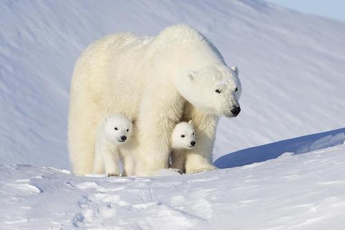 От потепления климата в Арктике страдают белые медведи