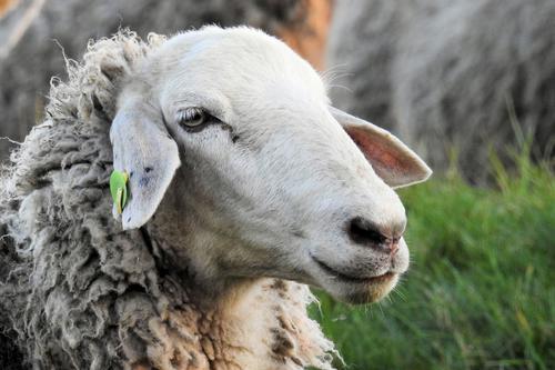 Видео: Прокладка трубопровода губительна для овец