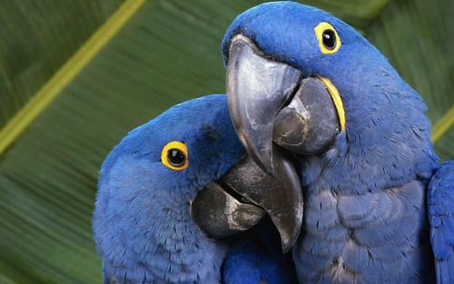 Сейчас в природе насчитывается около 370 видов попугаев, из которых четверть находится на грани исчезновения