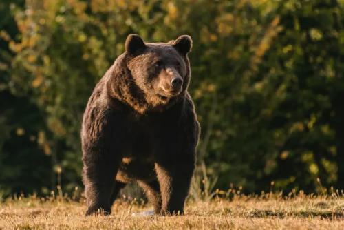Принца Лихтенштейна Эмануэля обвиняют в убийстве 17-летнего Артура – самого крупного медведя Евросоюза