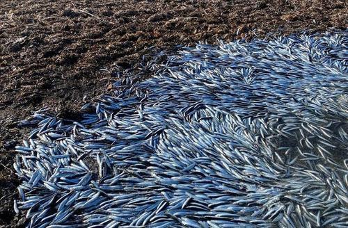 В Приморье зафиксировали массовый выброс на берег тропических рыб