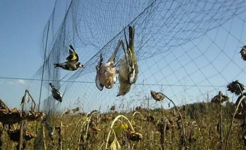 До пяти миллионов диких птиц отлавливают в Средиземноморье в год