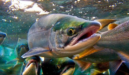 Уловы тихоокеанских лососей на Дальнем Востоке оказались ниже прошлогодних
