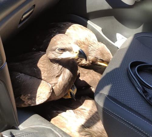 В Ставропольском крае сотрудники Госавтоинспекции остановили машину, перевозившую краснокнижных степных орлов