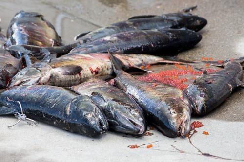 Сахалинские браконьеры не пропустили горбушу на места её нереста