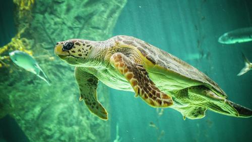 У погибших в Тихом и Индийском океанах молодых черепах обнаружен пластик в желудке