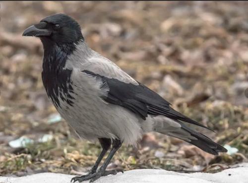 Убийство ради убийства, в Хакасии разрешили охоту на ворон и сорок, которые традиционно не идут в пищу