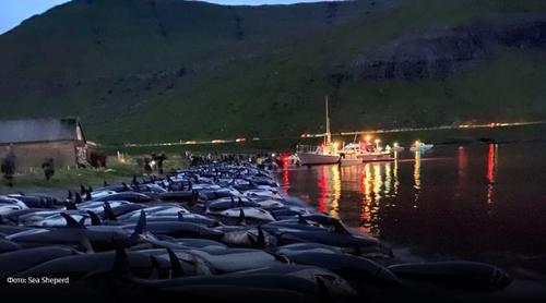Бессмысленная ежегодная бойня дельфинов произошла на Фарерских островах