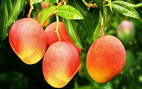 На юге Италии из-за изменения климата вместо апельсинов стали выращивать манго