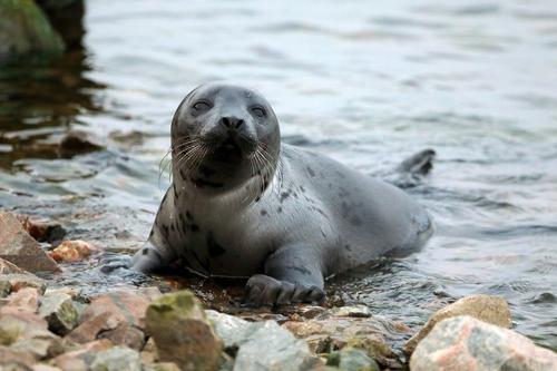 Тюлени могут остаться без еды