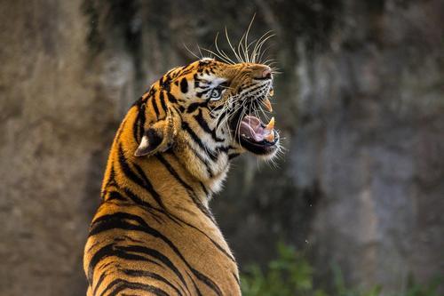 Тигр откусил годовалому младенцу палец в крымском парке «Тайган»