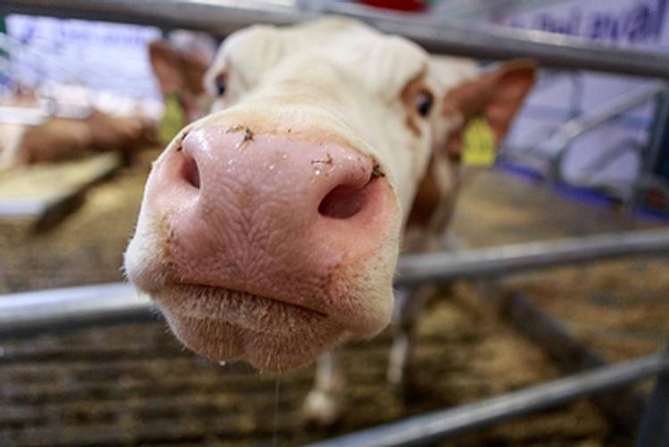 Пол теленка влияет на удои у коровы