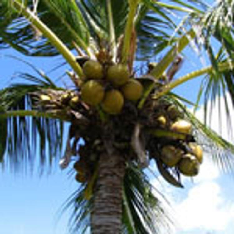 С кокосовым привкусом…