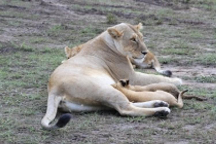 Пан Ги Муну подарили в Кении львицу-подростка