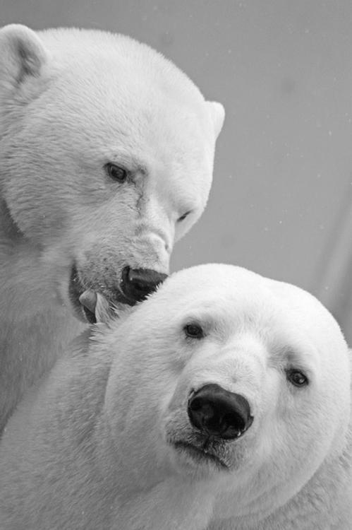 В НАО обнаружены останки шести убитых браконьерами белых медведей