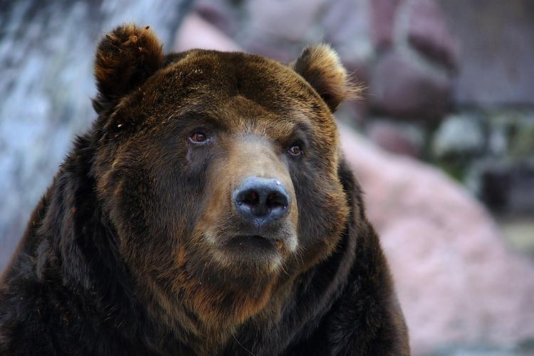 Живодеров, которые переехали медведя на внедорожнике, задержали