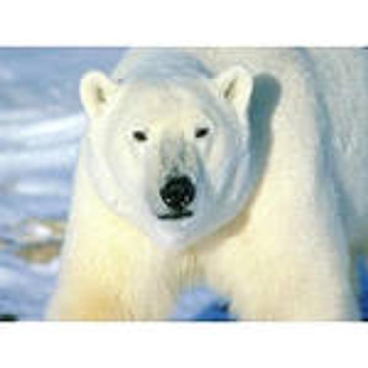 Экозащитники попросили Путина спасти полярных медведей