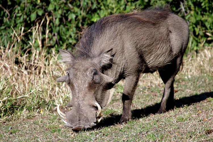 Во Владимирской области зафиксированы новые вспышки африканской чумы свиней