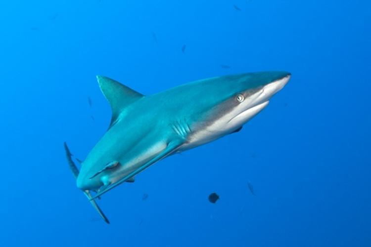 Отважный дайвер помог раненой акуле (ВИДЕО)