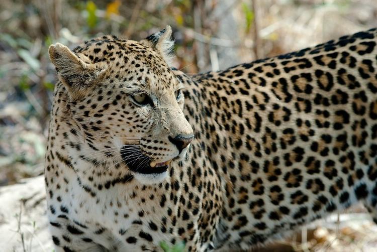 Леопард остановил работу аэропорта в Непале