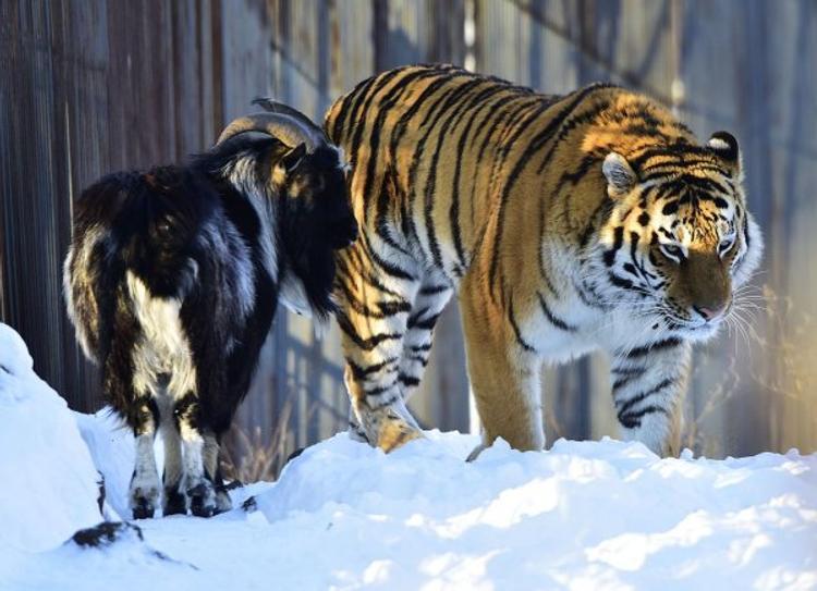 Детей тигра Амура и козла Тимура поселили в одном вольере