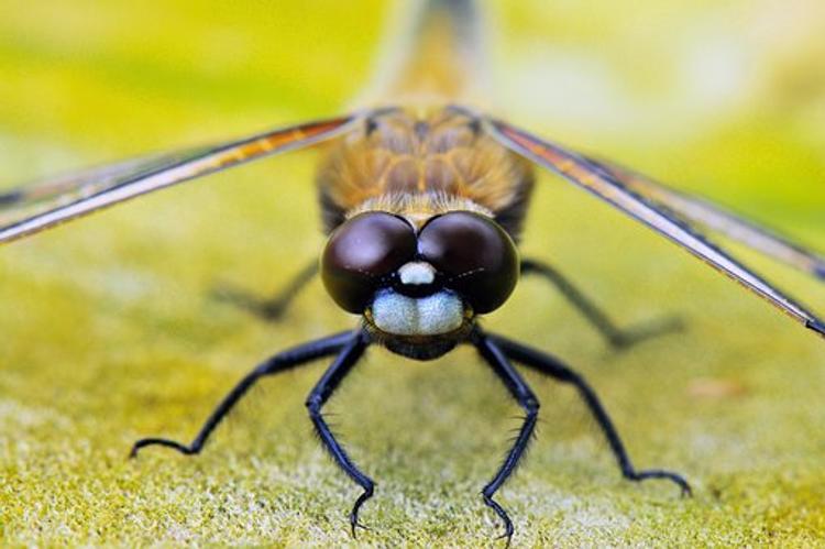 """Самки стрекоз притворяются мертвыми, чтобы """"не общаться"""" с самцами"""