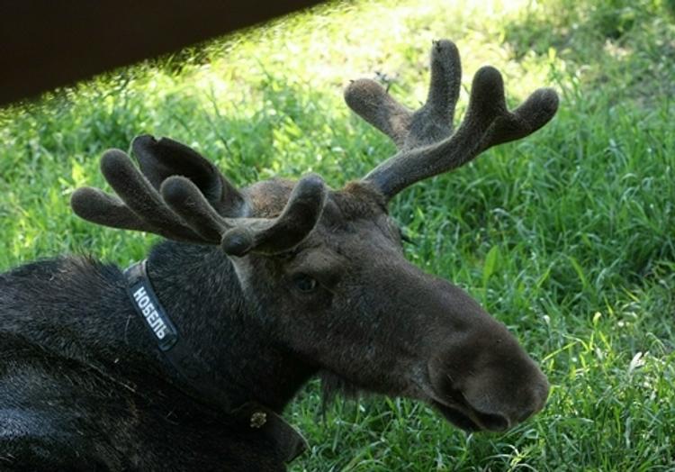 Под Тулой мужчина на иномарке сбил лося и сам погиб