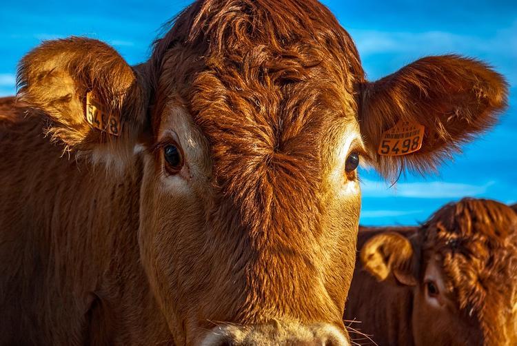 Хозяина коровы в Челябинской области вычислили по ДНК-тесту