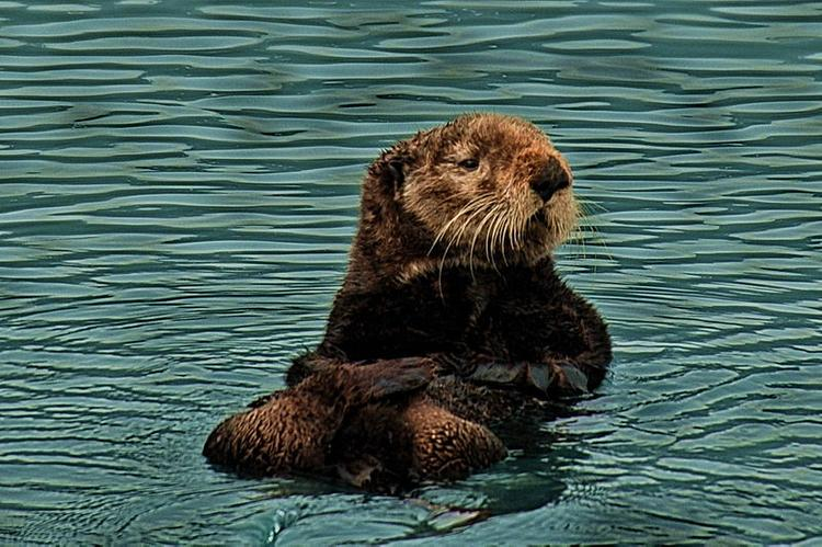 Спасённого на Камчатке детёныша калана перевезут в Приморский океанариум
