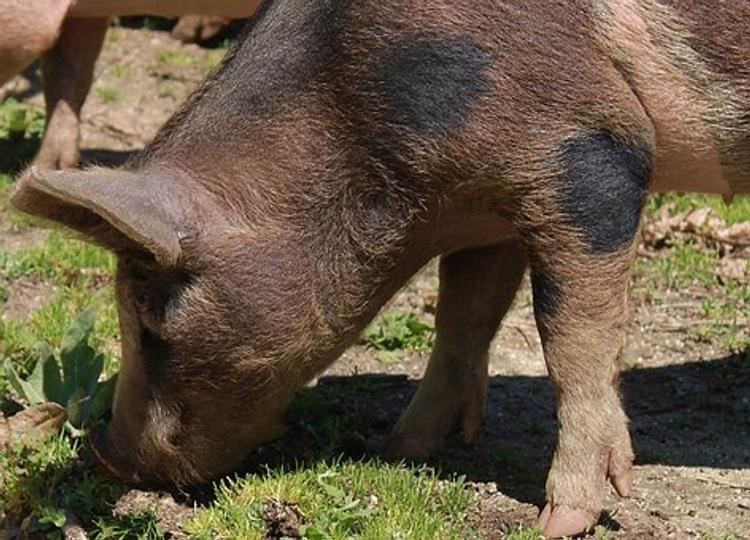 """Видео, как """"боевые"""" свиньи заступили на службу в армию Украины"""