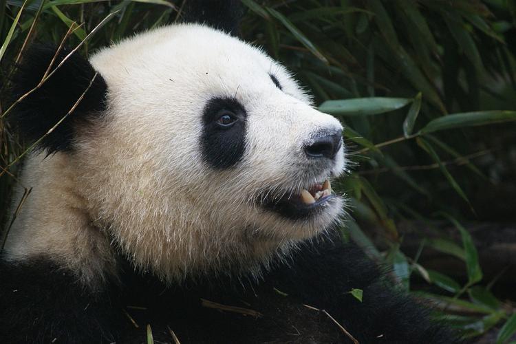 В Китае скончалась самая старая панда в мире