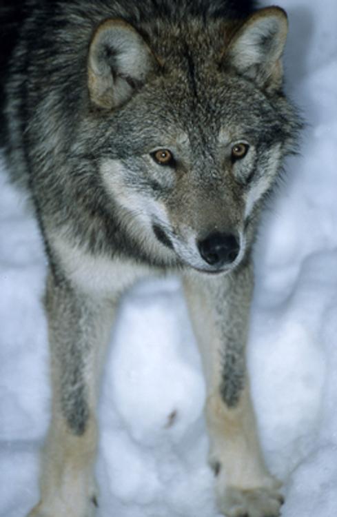 Волк напал на человека в Кировской области
