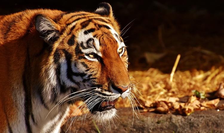Тигр напал на сотрудницу зоопарка в Калининграде