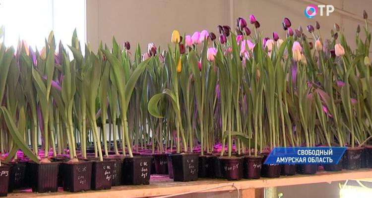 Три тысячи тюльпанов вырастили в Амурской области к 8 марта