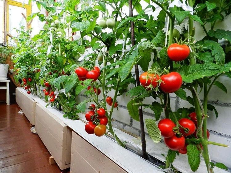 Городское земледелие на балконах становится популярнее и выгоднее дачного