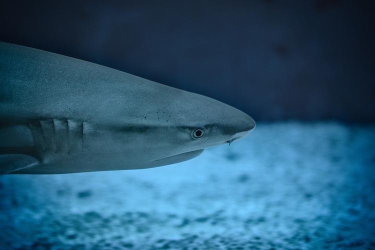 Рыбак в Австралии сделал акуле кесарево сечение и спас около ста детенышей