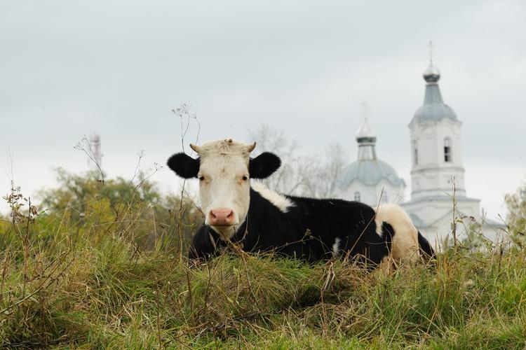 Коровы облюбовали детскую площадку под Рузой