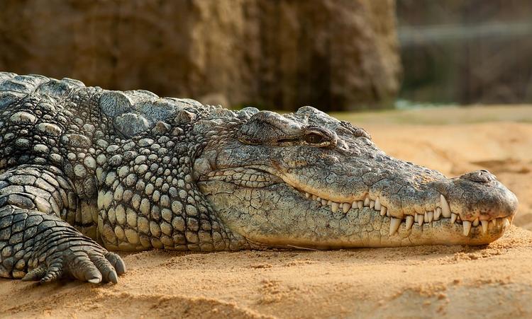 В лондонском аэропорту Хитроу пограничники изъяли 50 крокодилов