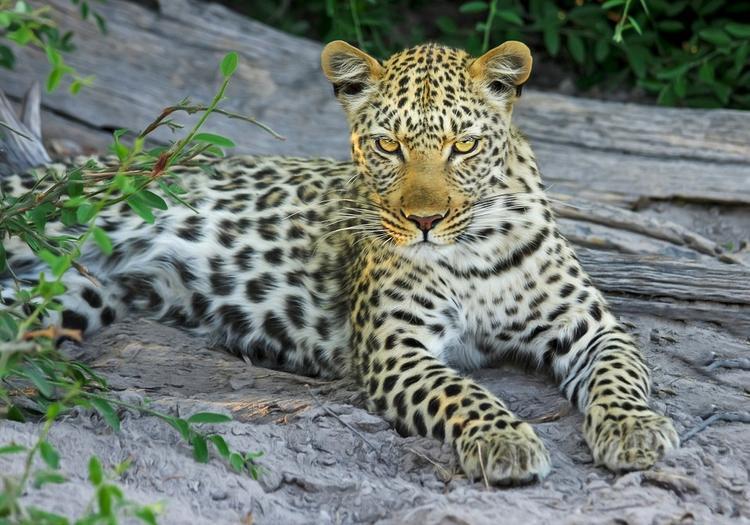 В Ботсване леопард чуть не съел ногу туриста