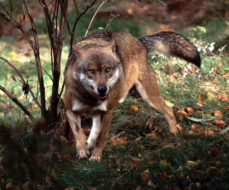 По Домодедово бегает одомашненная волчица с детенышами